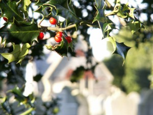 Holly in the Cemetery