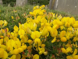 Common Birdsfoot Trefoil