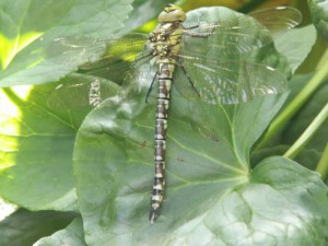 Dragonfly (Southern Hawker)