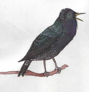 Starling1_000