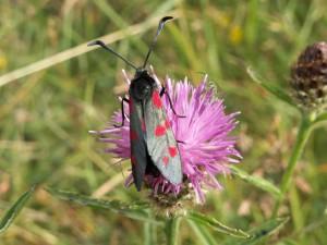 Six Spot Burnet (moth)