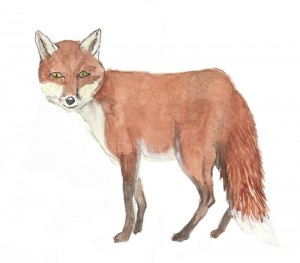 Fox drawn by Maisie