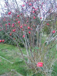 Rose Hips and Rose