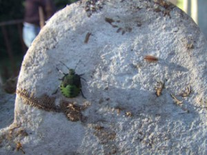 Greenshield Bug