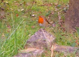 robin-2-november-2016-cropped