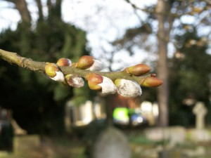 Buds on a Willow tree