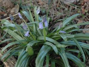 Bluebell5April2008