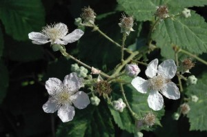 Bramble flowers