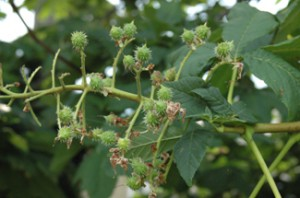 Conkers forming