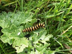 Caterpillar of Cinnabar Moth