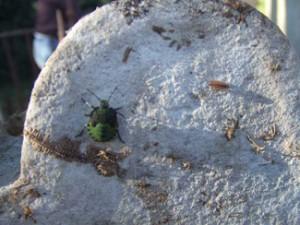 Greenshield Bug