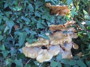 Tree fungi (unidentified)