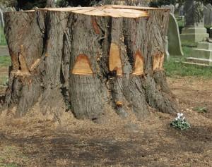 Cypress tree 4 April 2016